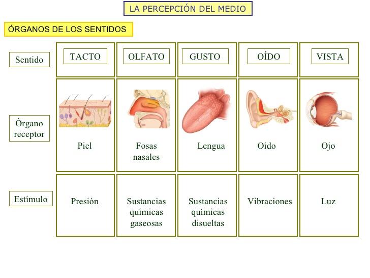 Biolog a humana rganos de los sentidos for Mural de los 5 sentidos