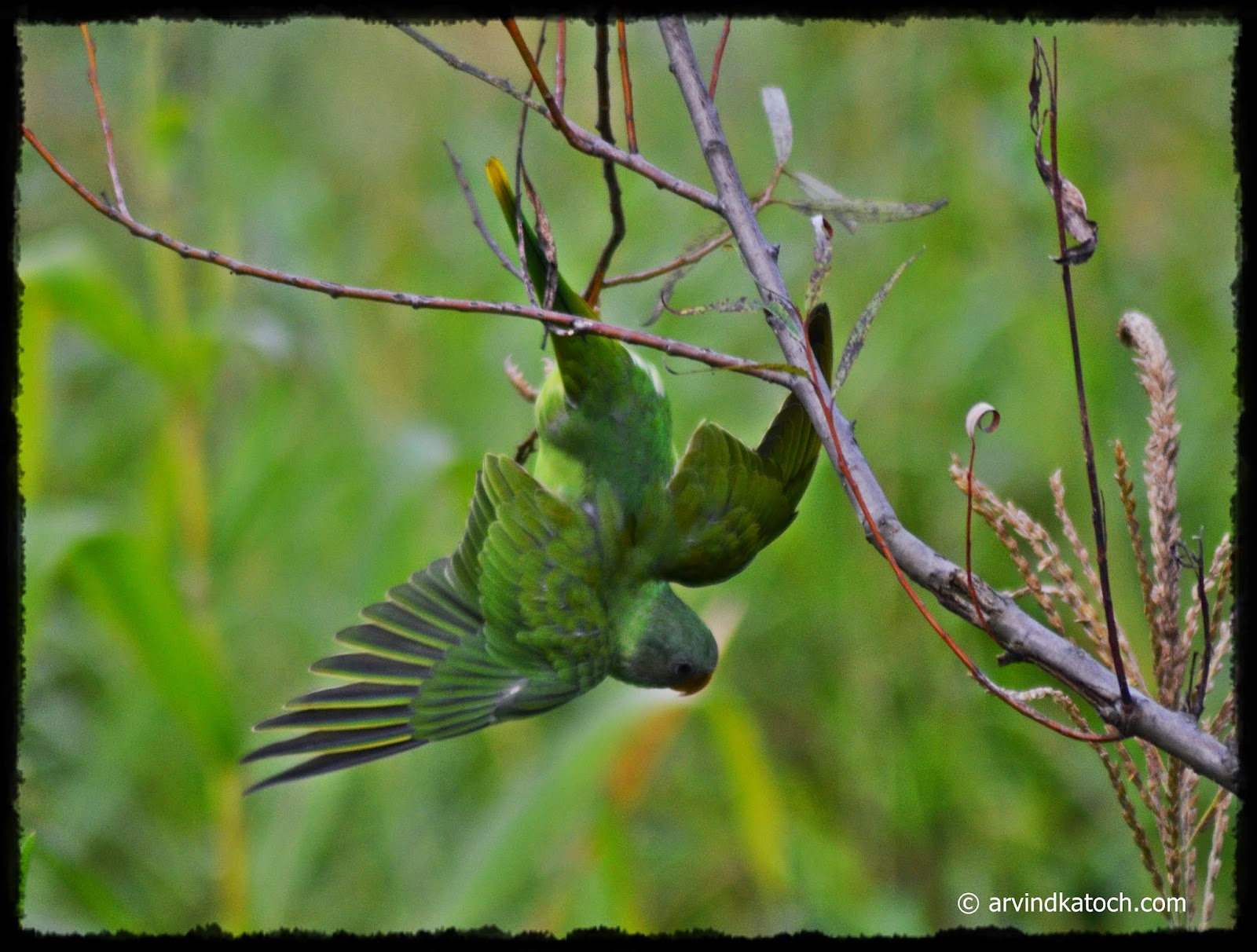Slaty-headed parakeet, Down Swing, Wings open