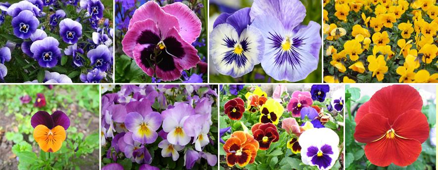 Richiamo vegetale tempo di viole for Viola cornuta inverno