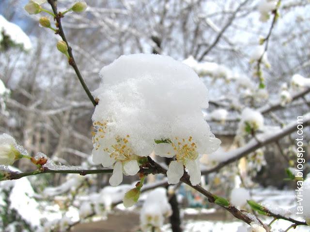 цветы сливы в снегу