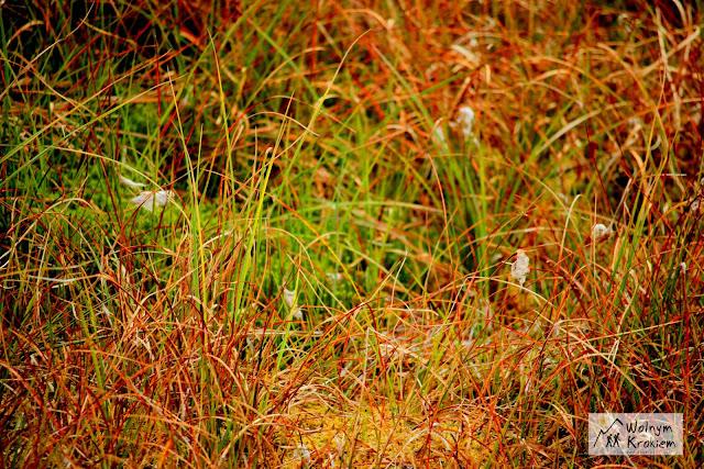 topielisko nad zieleńcem - wełnianka