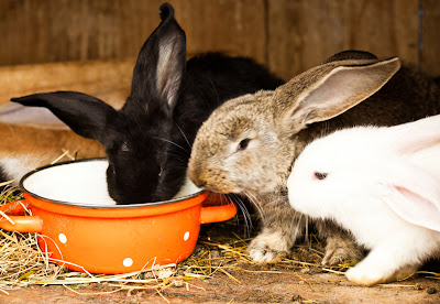 Three different rabbits eating from a bowl
