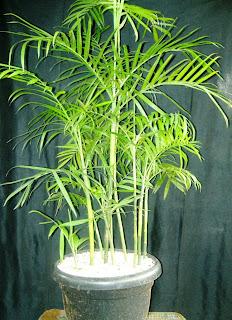 Gambar pohon palm komodoria harga murah