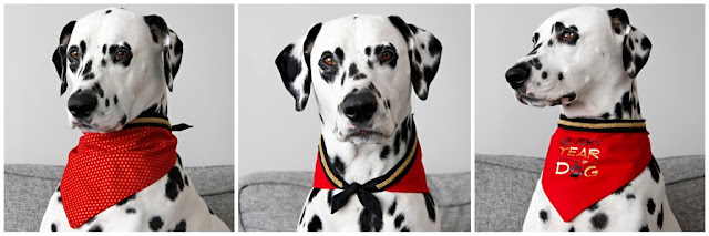 "Dalmatian dog wearing a red bandana with black and gold trim with ""Year of the Dog"" on the bandana"
