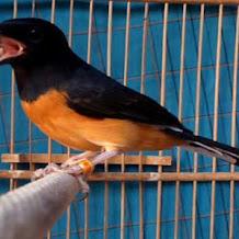 Solusi Suara Burung Murai Batu Yang Tiba Tiba Serak