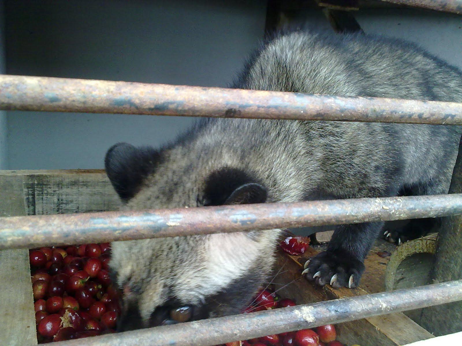 gambar binatang luwak di kandang ketika memakan biji kopi ceri