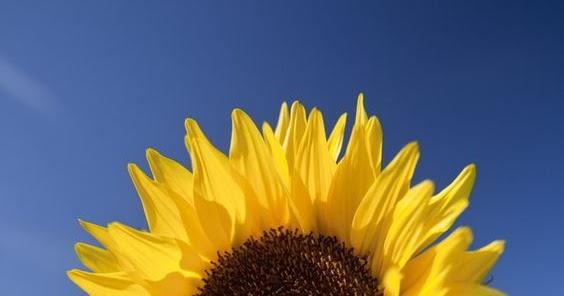 Pengamatan Bunga Matahari Helianthus Annuus