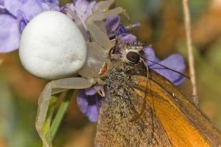 Para ampliar Misumena vatia (Clerck, 1758)  Araña cangrejo hacer clic