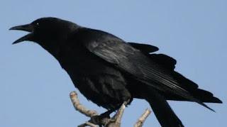 Burung gagak | Hewan yang Dipercaya Bisa Melihat Hantu