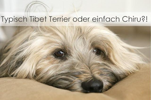Tibet Terrier Chiru [Hundeblog]
