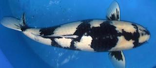 Jenis ikan Koi Shiro Utsuri