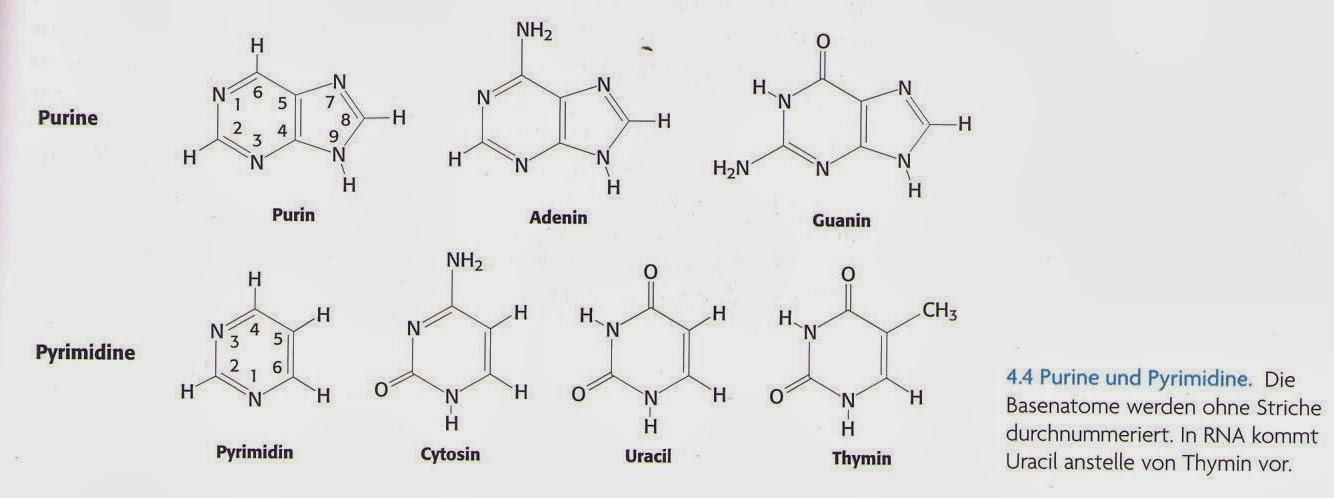 adenin thymin guanin cytosin