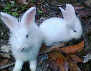 Ciri-ciri fisik kelinci anggora yang sehat, sakit, dan hamil