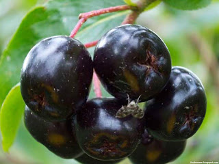 Chokeberry fruit images wallpaper