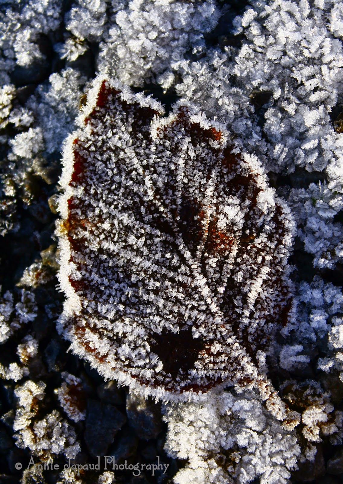 frosted leaf, cold