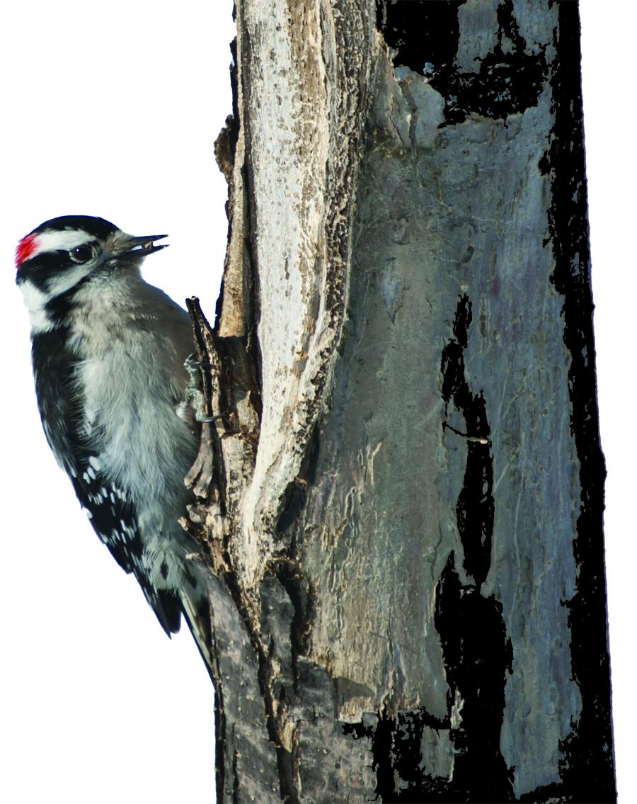 Nature S Song Woodpecker Suet