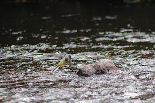 Grey wagtail over Owennashad River in Lismore, photo by Corina Duyn