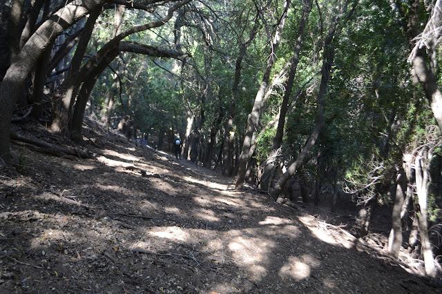 narrow tread through skinny oaks on the hill side