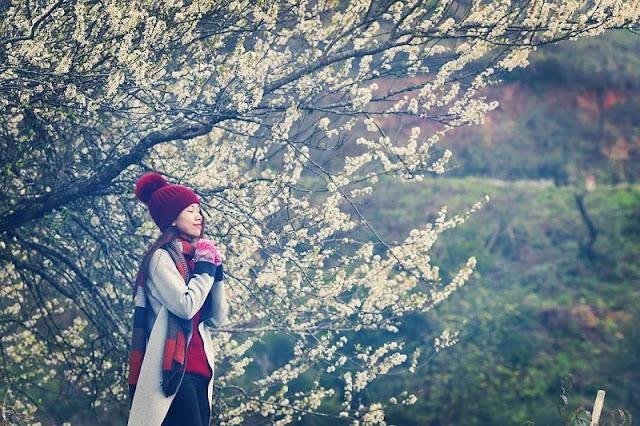 Moc Chau plateau in pristine white plum blossom season 2