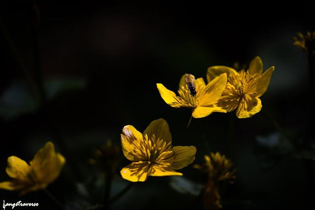 Massif des Bauges, Aillon le jeune, flore des Alpes, Savoie