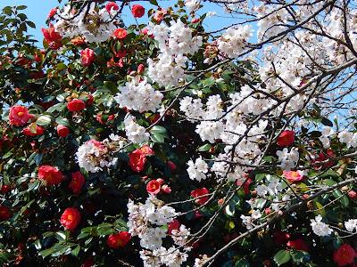 源氏山の桜とツバキ