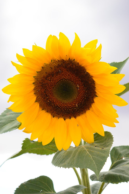 sunflower, journal of a thousand things, photography, amy myers,