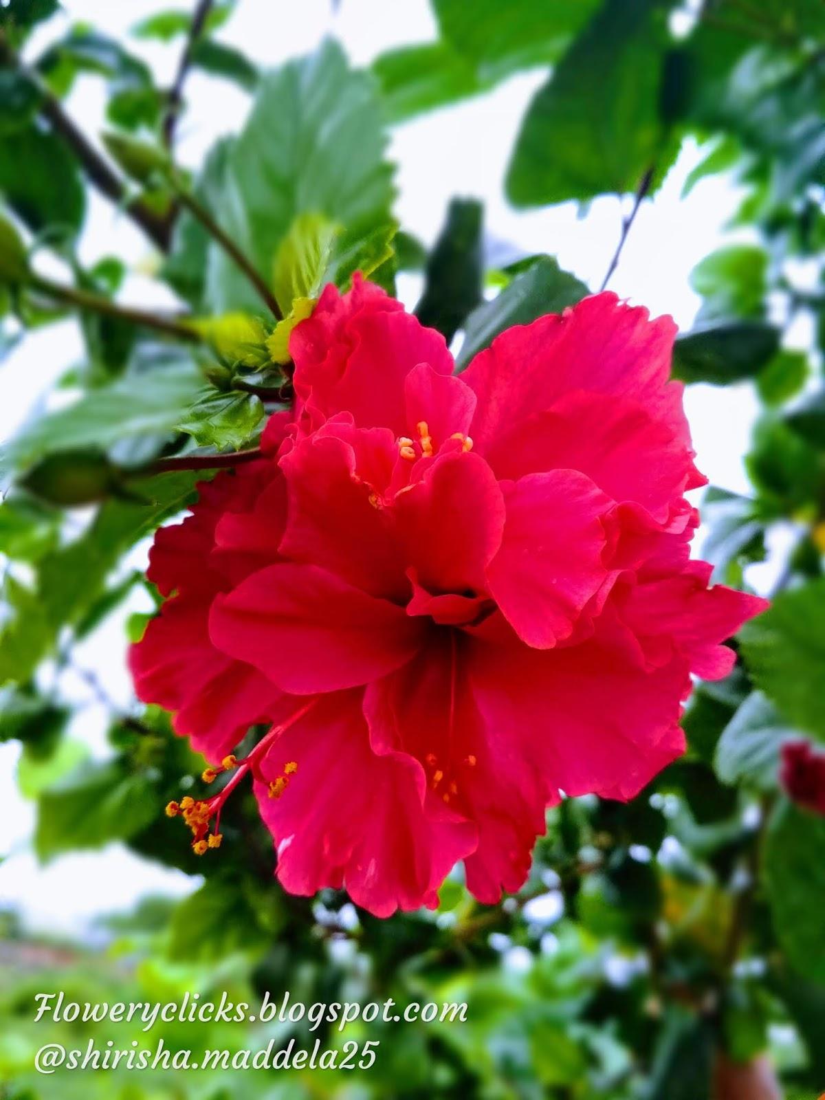 Mandara Flowerhibiscus Flower మదర