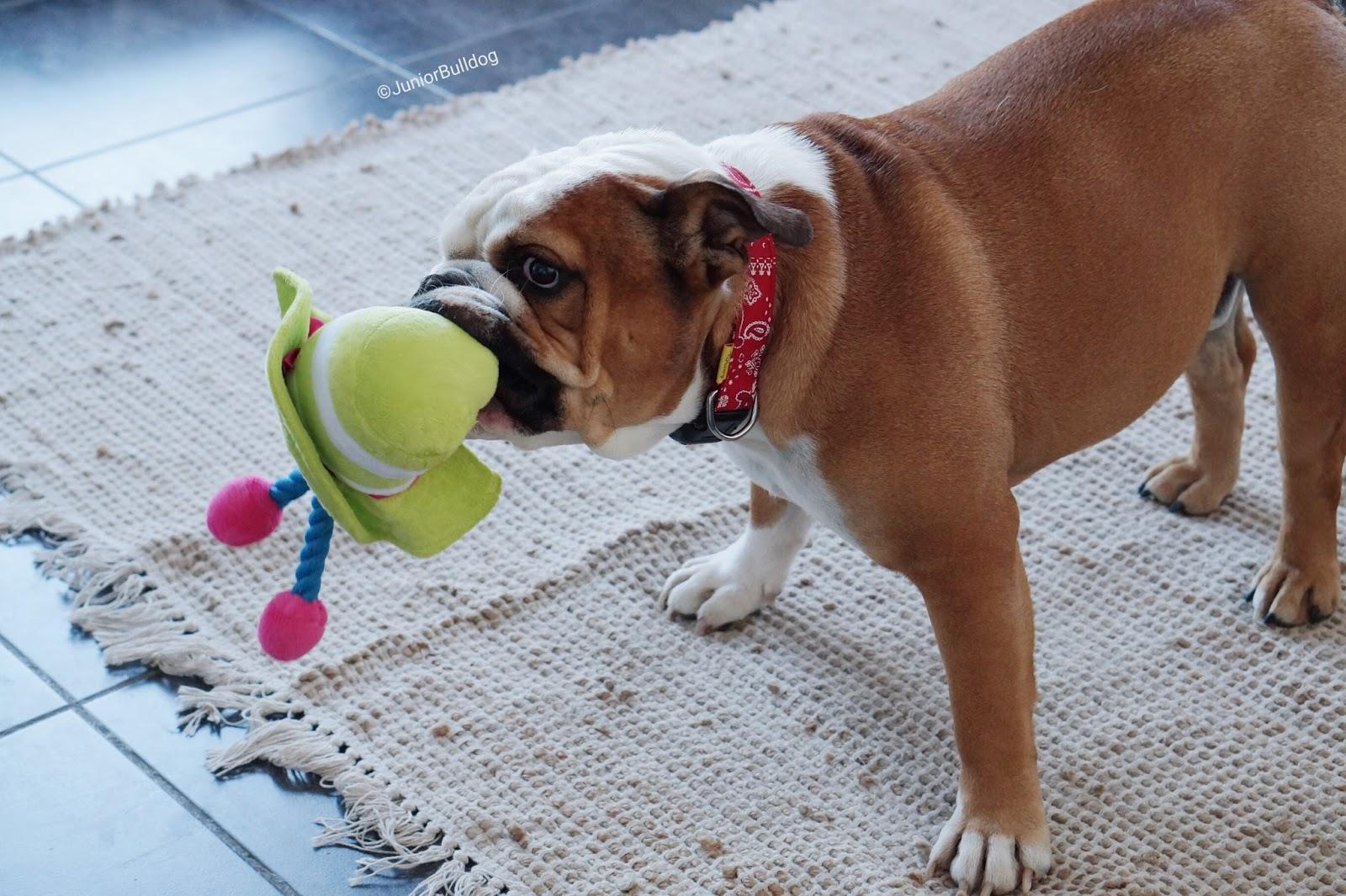 jouet bulldog anglais blog