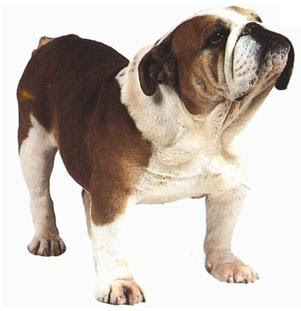 razas de perros pequeños bulldog