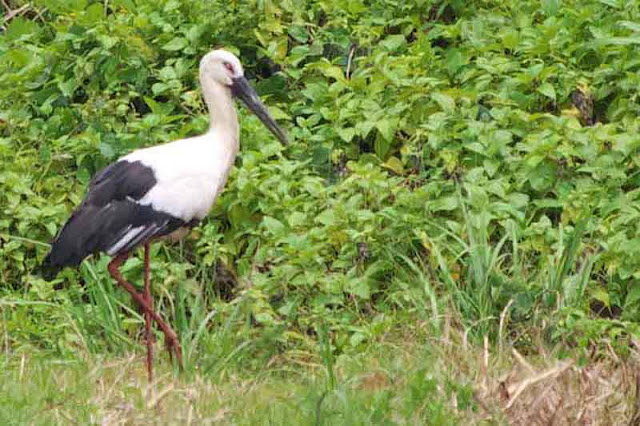 bird, field, stork, Kouri Island, Okinawa