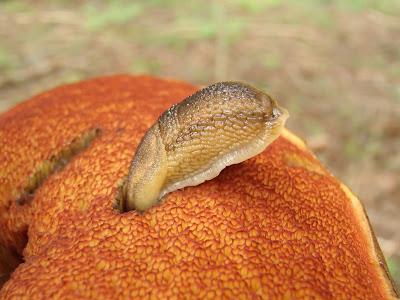 grzyby 2017, grzyby w czerwcu, grzyby na Orawie, borowiki ceglastopore, podgrzybki złotawe, muchomory mglejarki