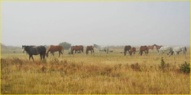 horses grazing in the mist