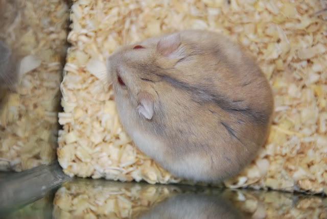 Ciri-ciri Hamster Hamil dan Cara Merawatnya