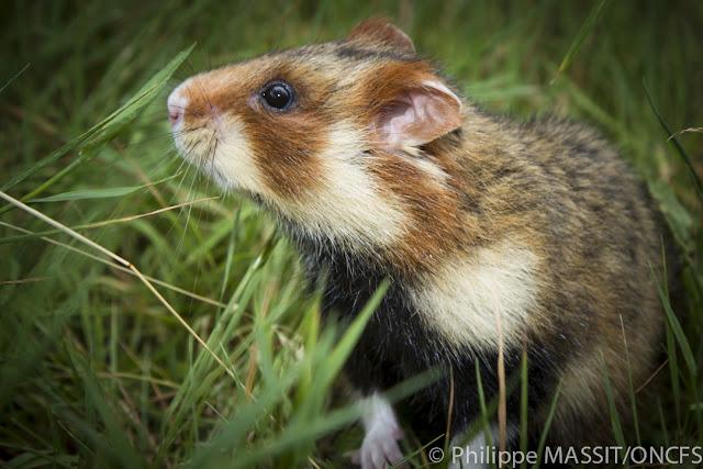 Hamster Dan Macam Jenisnya - Lucu