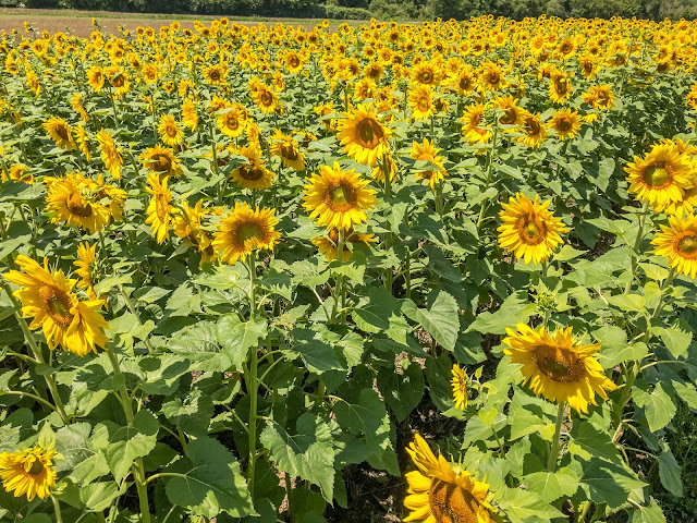 Biltmore Estate Sunflowers