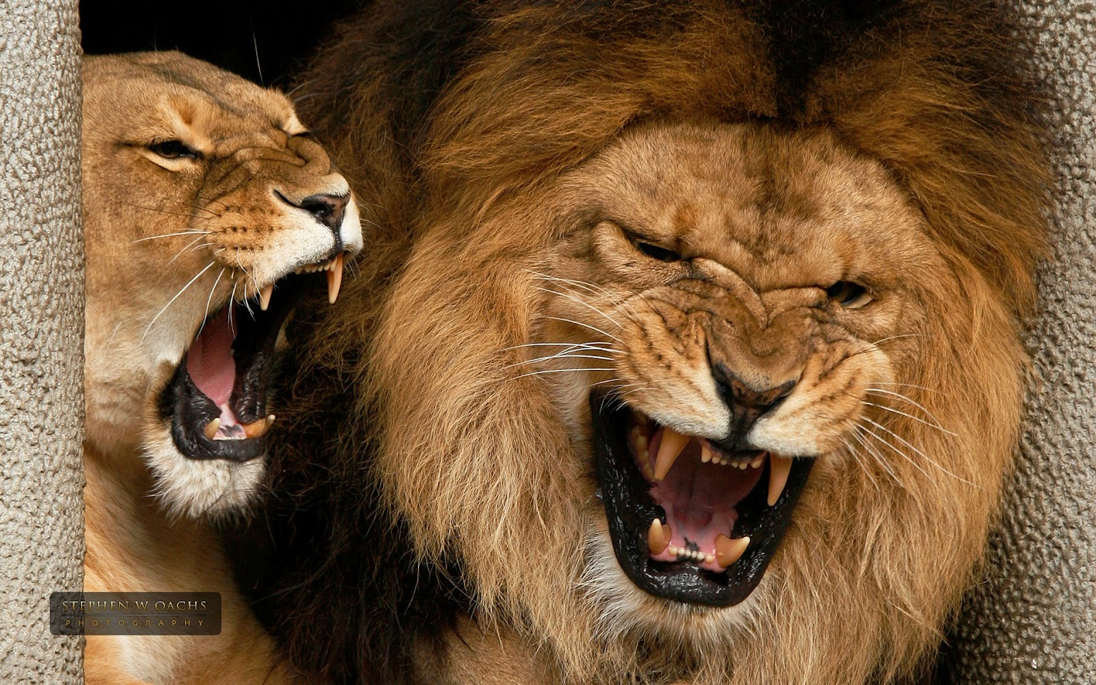 Lion pictures wallpaper - photo#53