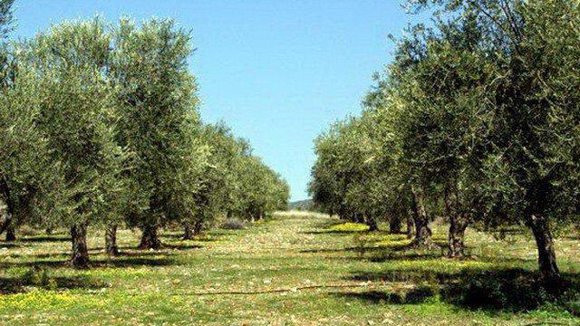 Συστάσεις προς τους ελαιοπαραγωγούς για την καταπολέμηση του δάκου