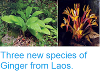 http://sciencythoughts.blogspot.co.uk/2015/02/three-new-species-of-ginger-from-laos.html