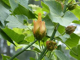 Hibiscus columnaris - Ketmie columnaire - Mahot rempart