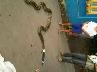 http://www.asalasah.com/2016/05/foto-ular-sanca-3-meter-yang-ditemukan.html