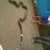 Foto Ular Sanca 3 Meter Yang Ditemukan Warga Tasikmalaya