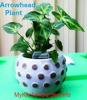 Arrowhead House Plant