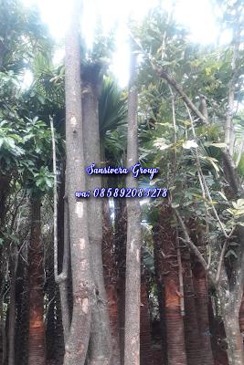 Tukang pohon pule