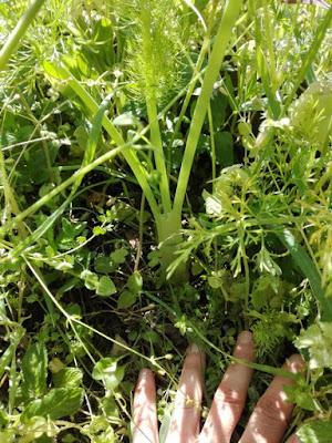 Aprile nell'orto di Elle e Alli: finocchi e erbe spontanee