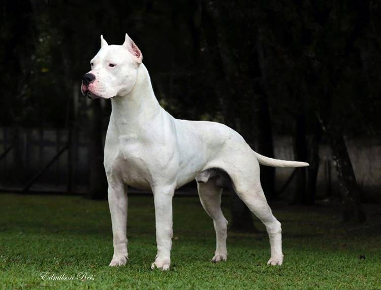 The only breed officially recognized to be bred in Argentina. These strong dogs are used for hunting large animals, mainly for puma, whose weight sometimes exceeds a centner. Dogo Argentino is not considered very aggressive, but its appearance scares people.