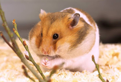 Hamster - Animals That Start With H