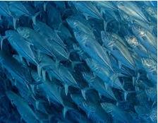 ikan untuk ibu hamil