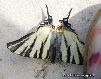 podalirio farfalla nella fattoria didattica dell ortica Savigno Valsamoggia Bologna Zocca