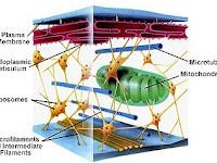 Cytoskeleton Diagram