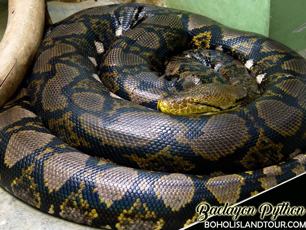 albur-python-bohol